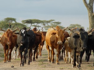 New Journal Paper on Cattle sharing and rental contracts in an Agrarian economy