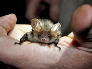 Technology revealing the secret life of bats