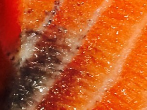 Riddle of dark spots in salmon solved