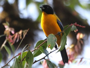 Could some farming practices benefit tropical birds?