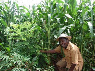 CLTS Working Paper on Adoption of Drought Tolerant Maize Varieties