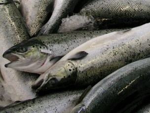New research project will contribute to more sustainable fish farming