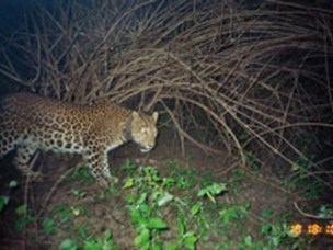 Ghosal & Kjosavik: Living with Leopards - Negotiating Morality and Modernity in Western India