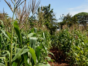 Agricultural carbon finance in western Kenya