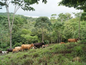 Policy options for dairy value chain development in Nicaragua