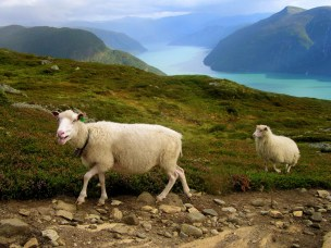 Improving the economics of sheep farms in Norwegian coastal and fjord areas