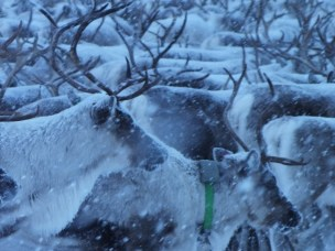 Dynamic reindeer: GPS and Chernobyl consequences