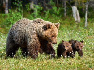 Hunting turns bear cubs into mama's boys (and girls)