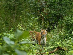Political ecology of tiger conservation in India