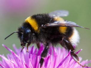 Power-line clearings in Norwegian forests are important habitats for wild bees