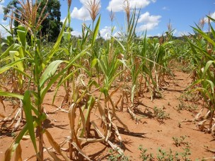 New Journal Paper on Productivity impact of drought tolerant maize varieties under rainfall stress in Malawi: A continuous treatment approach