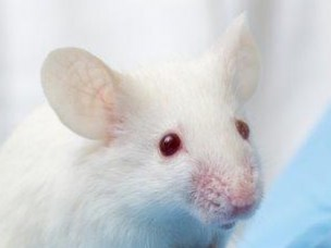 Gamma radiation at low dose rate is genotoxic in mice
