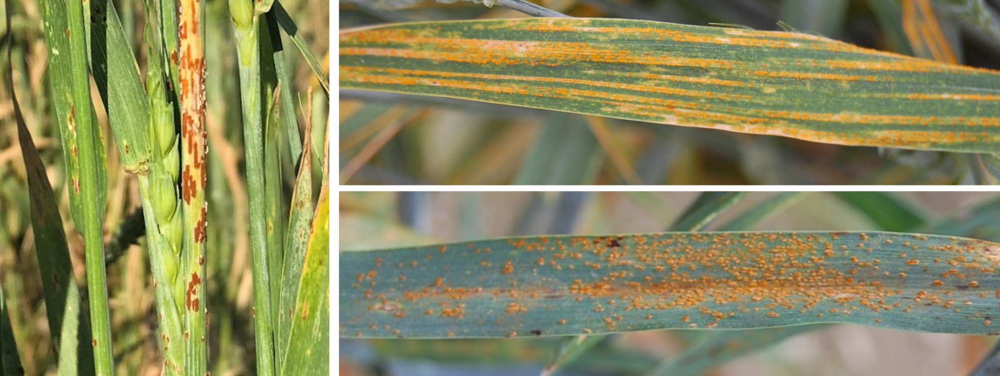 Stem rust, yellow rust and leaf rust on wheat