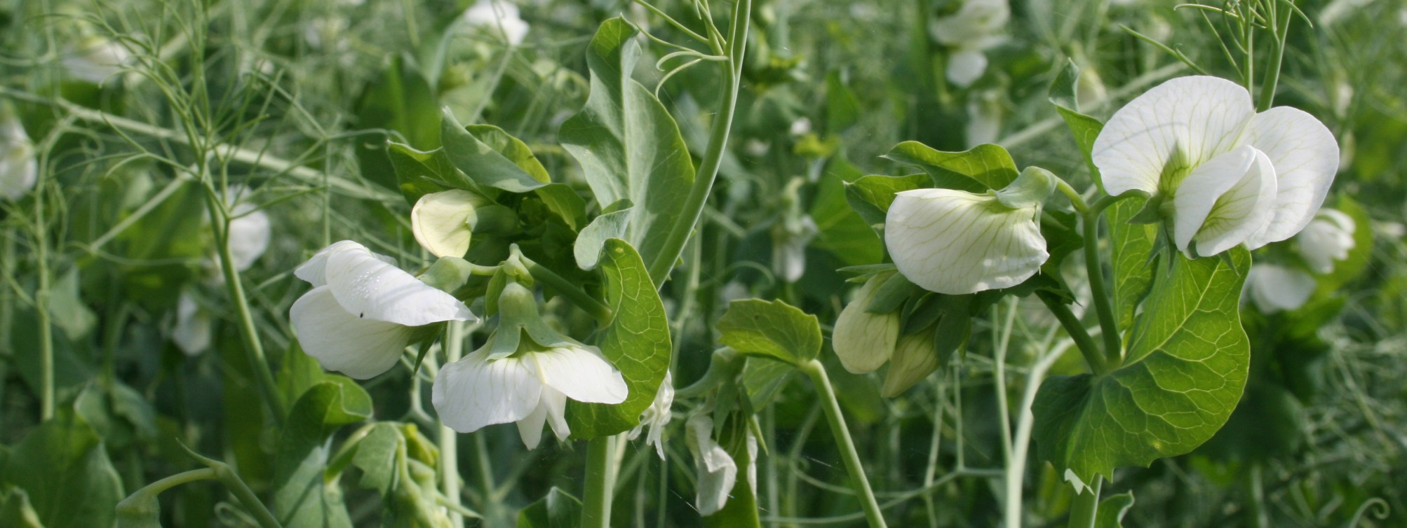 Pea Plants in Field