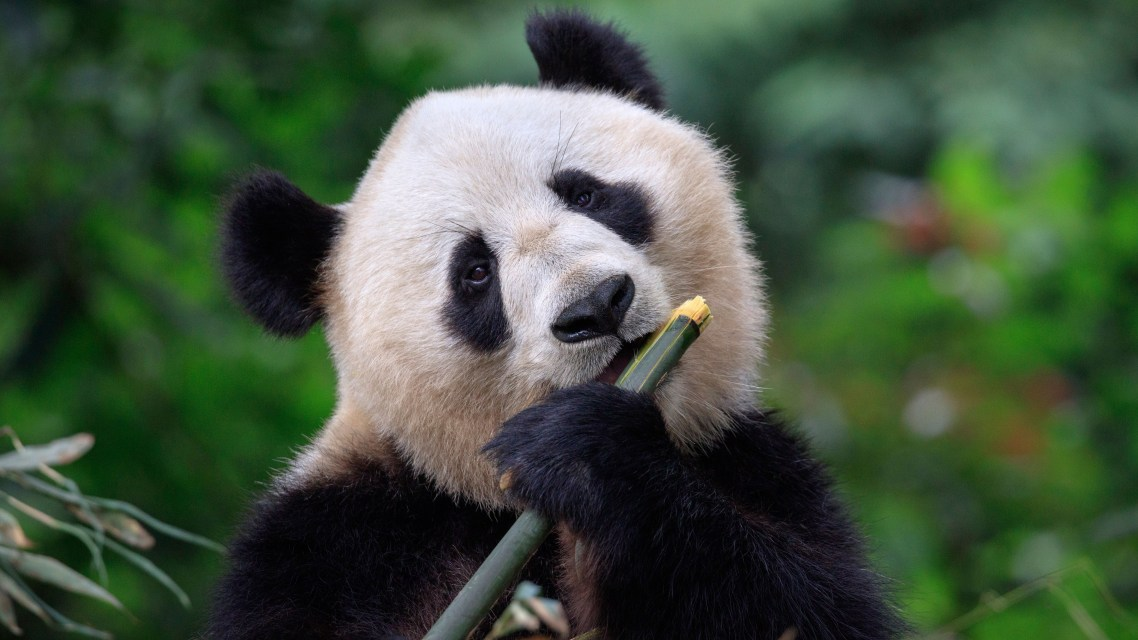 The panda diet: how to survive on only bamboo?
