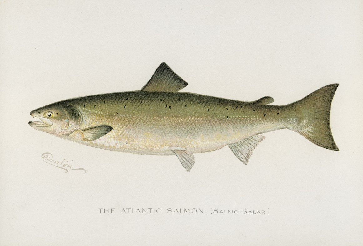The Atlantic salmon (Salmo salar).