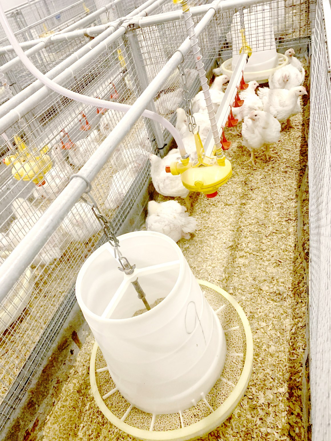 At 34 days the chickens were fully grown, and the preliminary results of the trial are promising