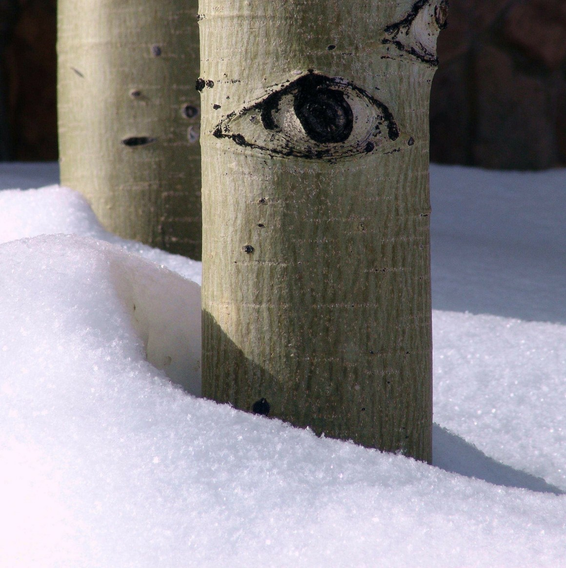 Aspen trees stay dormant in the winter, to protect their delicate tissues.