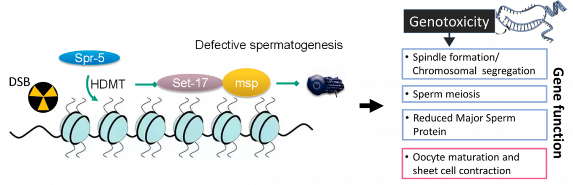 Figure 3. Proposed model for gamma radiation induced defective sperm meiosis in the C. elegans hermaphrodite. Repair of complex DNA damage such as DSB is initiated via histone demethylation by spr-5, which concomitantly represses set-17 regulated genes including msp.  DNA damage onto the gametes causes defective spindle formation and chromosomal segregation. The concerted effect leads to reduced number of mature sperms with the downstream feedback inhibition of oocyte maturation and sheet cell contraction signalling.
