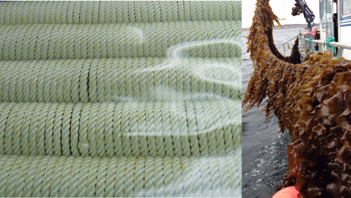 Kelp is cultivated on ropes in the ocean. The method is considered sustainable.