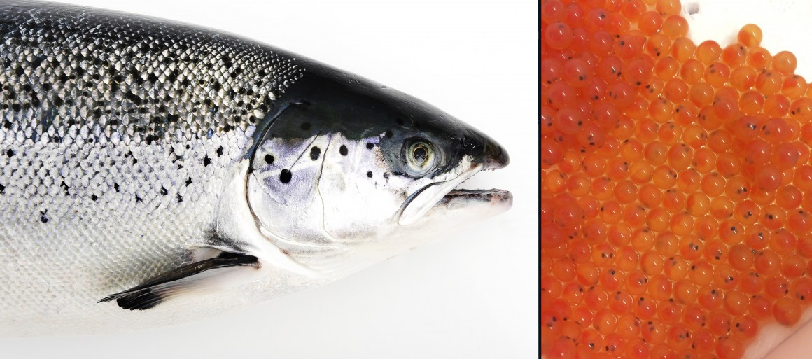 Mature Atlantic salmon (left) and young fertilized salmon eggs (right)