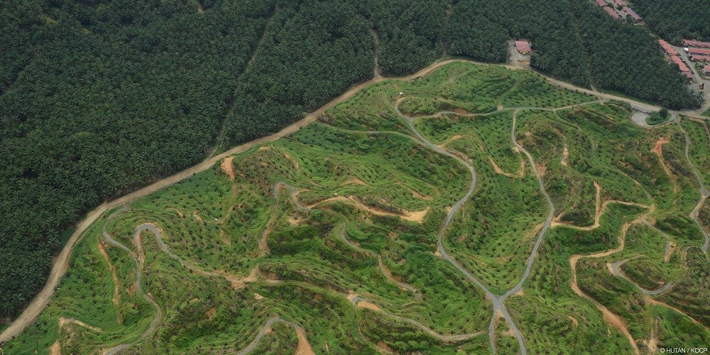 Palm oil plantation as seen from above.