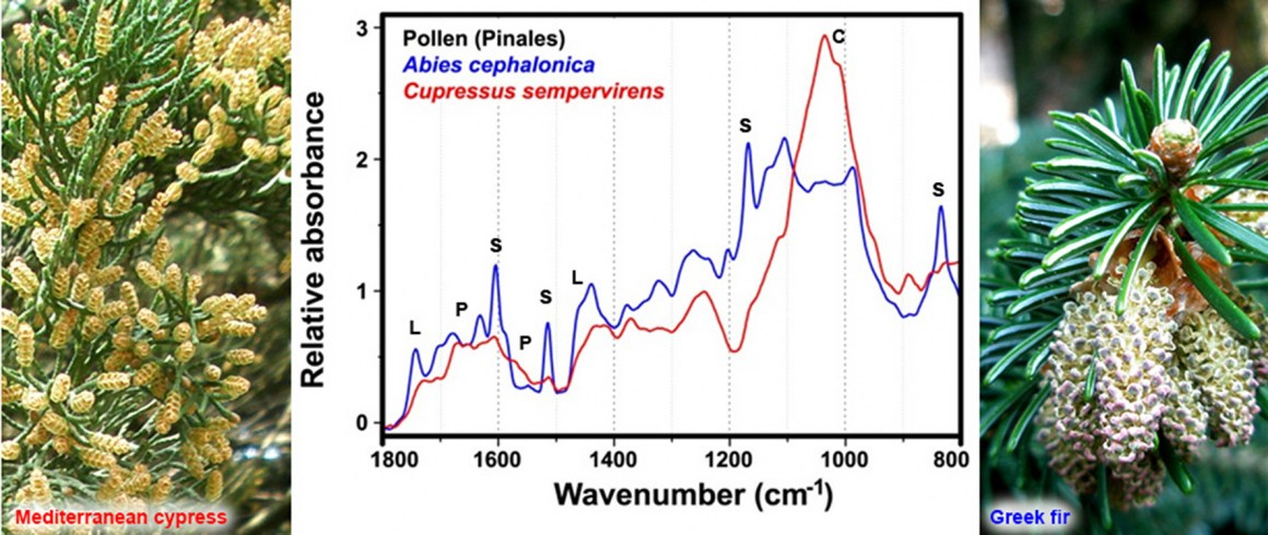 Male cones with pollen of Mediterranean cypress (left) and Greek fir (right). The corresponding FTIR spectra of pollen (middle); the marked vibrational bands are associated with lipids (L), proteins (P), sporopollenins (S) and carbohydrates (C).