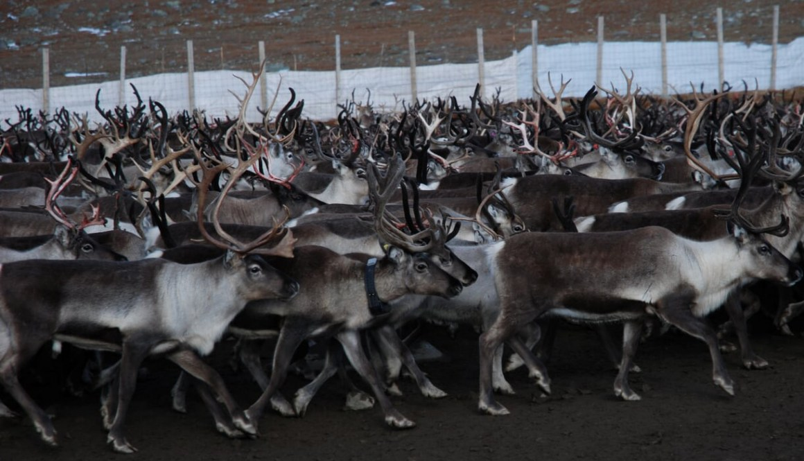 Our female reindeer wearing gamma dosimeter with GPS