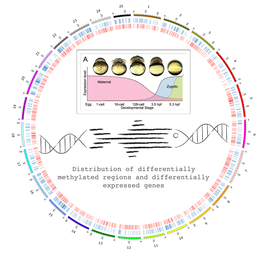 Distribution of differentially methylated regions and differentially expressed genes