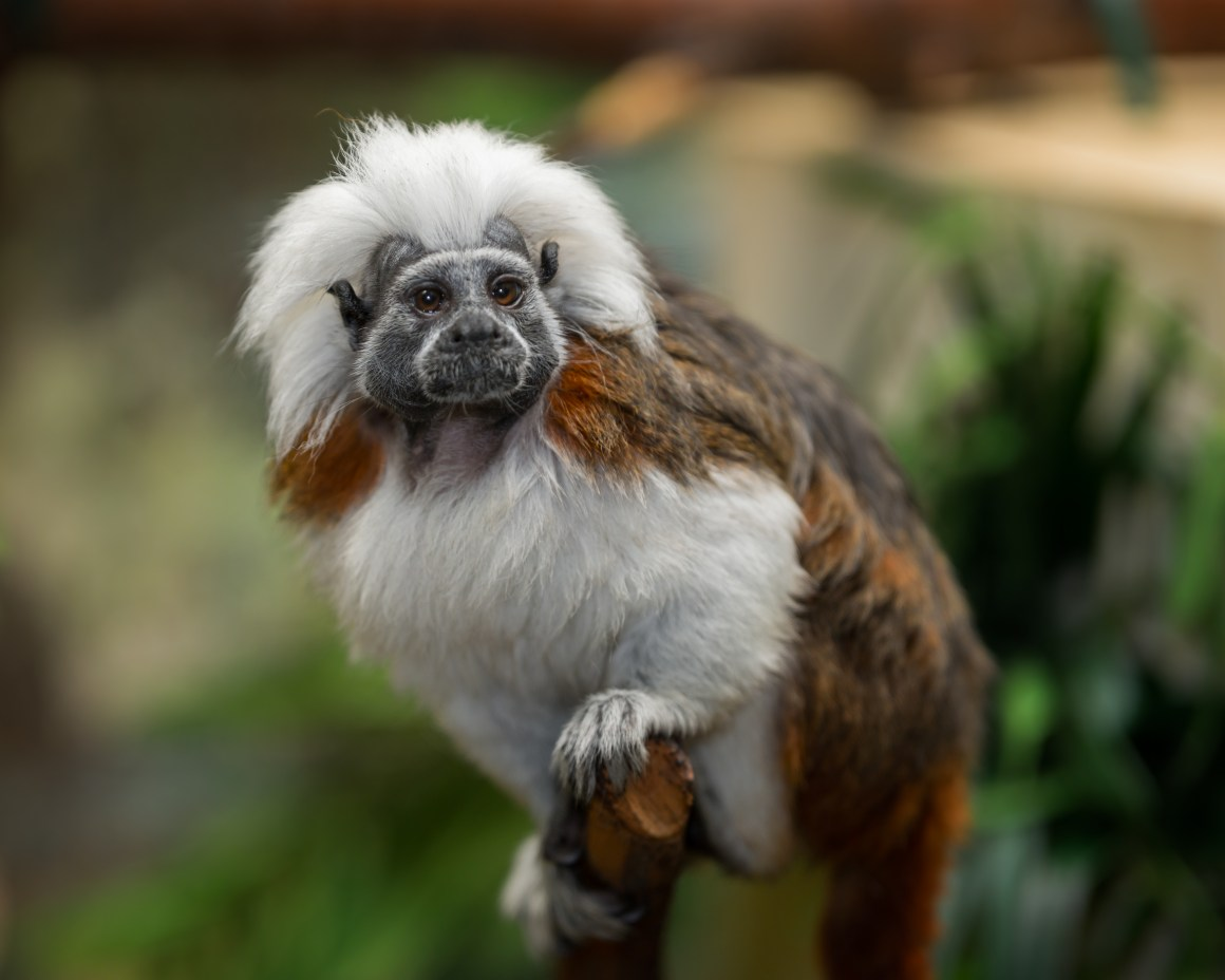 Cotton-top tamarin. A small monkey native to South America, threatened by palm oil production.