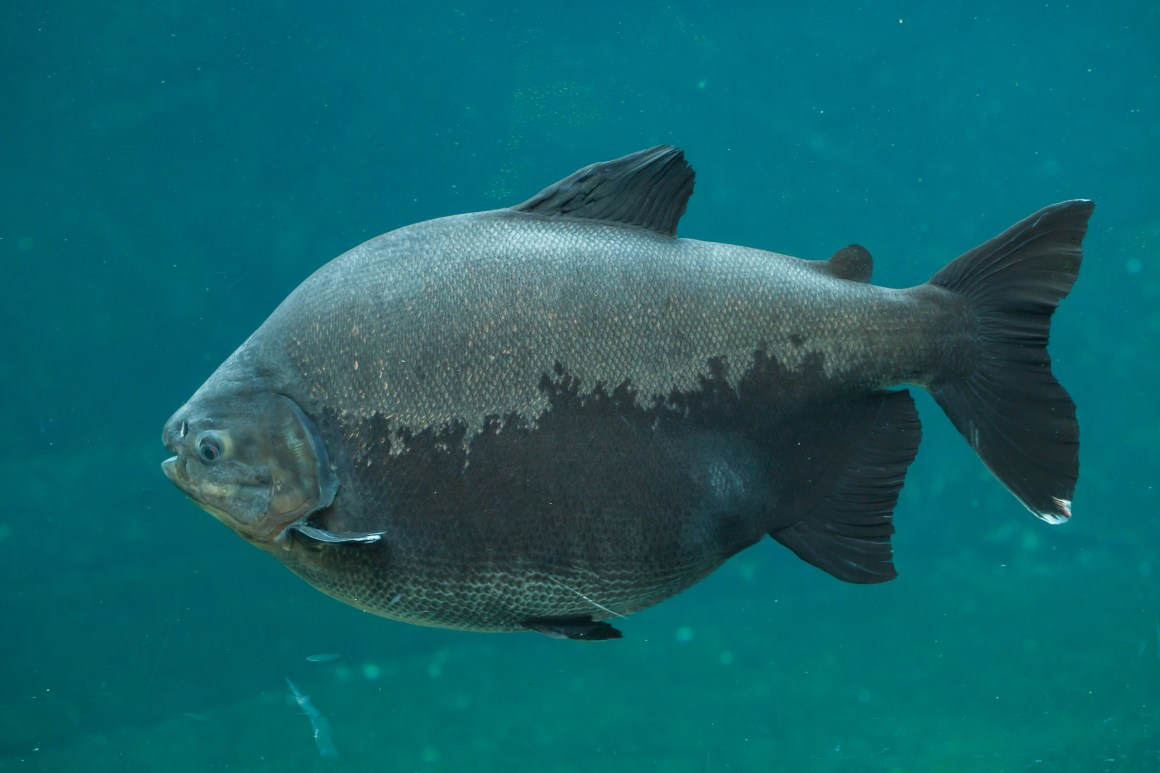 Tambaqui (Colossoma macropomum). Also known as pacu, or giant pacu. These fish are seed eaters/dispersers and are heavily threatened by overfishing in many areas.