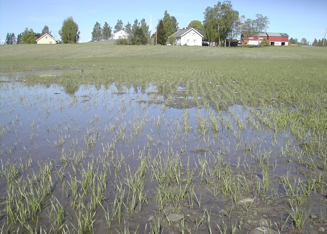 Saturated soil after precipitation during early spring cereal growth.