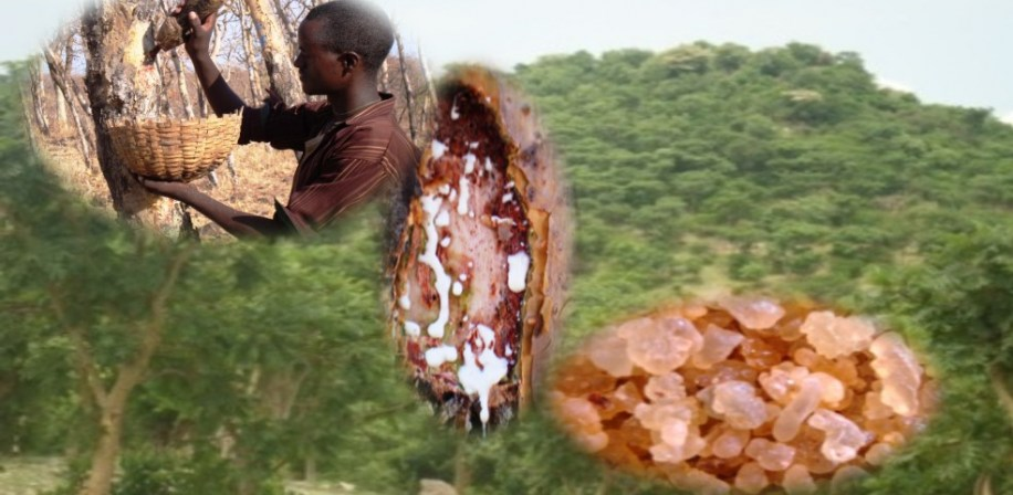 Friankincense forest during rainy season, tapping of frankincense in dry season and frankincese white resin at tapping, and dried frankincense from Northern Ethiopia