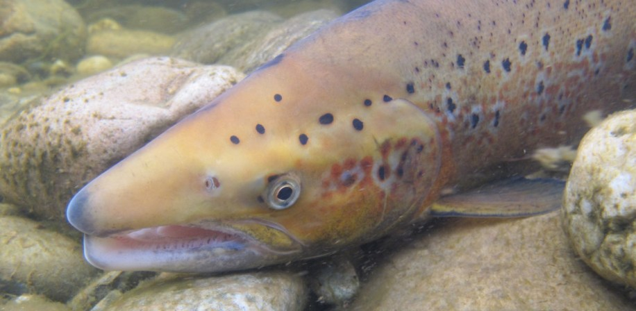 Researchers have discovered that a specific gene plays a very important role in determining whether a salmon returns to spawn as a large or small salmon.