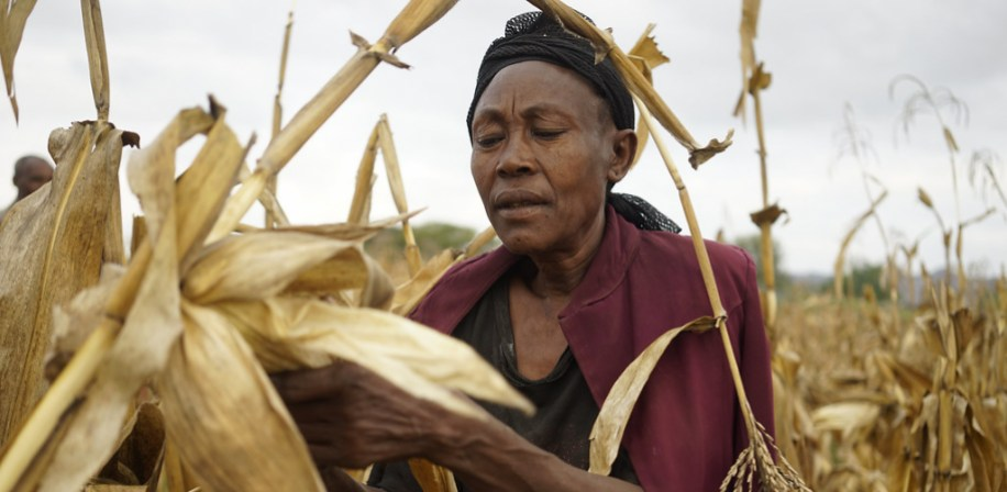 Woman harvests drought-tolerant maize, Ethiopia