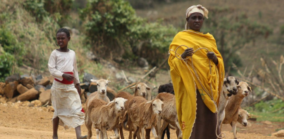 Sheep in Horro, Ethiopia