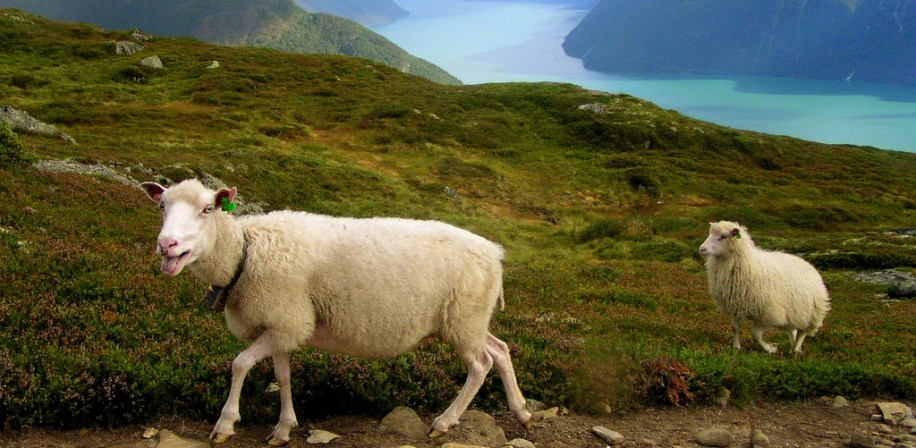 Sheep in Norwegian landscape.