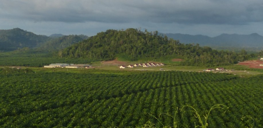 View of an oil palm plantation.