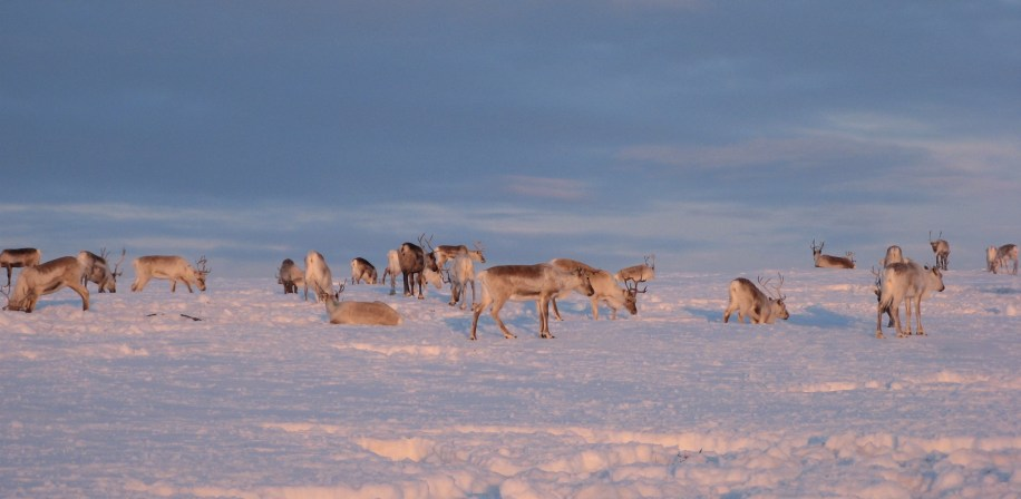 Reindeer dig through snow and ice to get to pasture during winter. In the last three decades, climate change has led to more frequent severe winter conditions that make digging impossible.