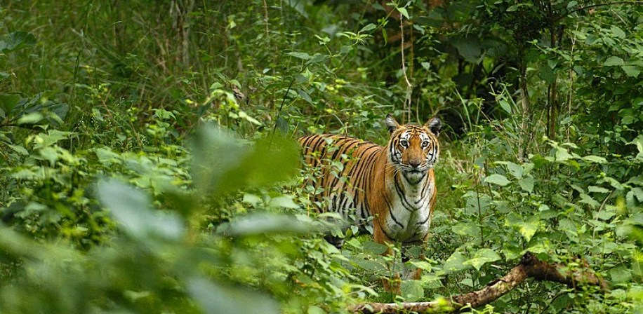 A rare glimpse of a Tiger in the Western Ghats